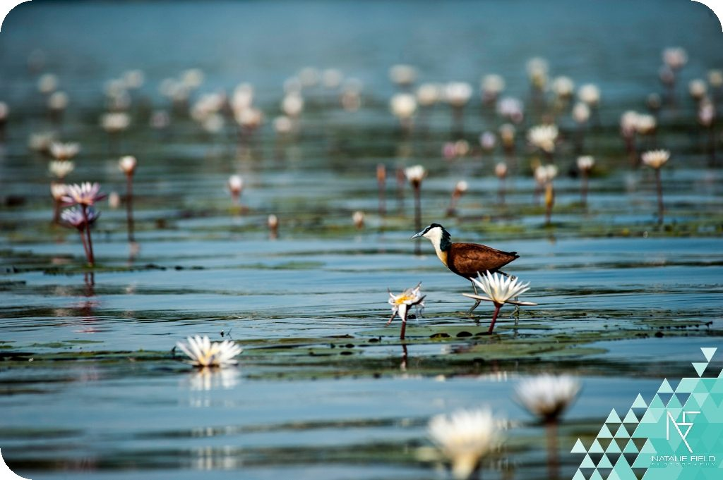 Jacana bird photography by Natalie Field in Botswana